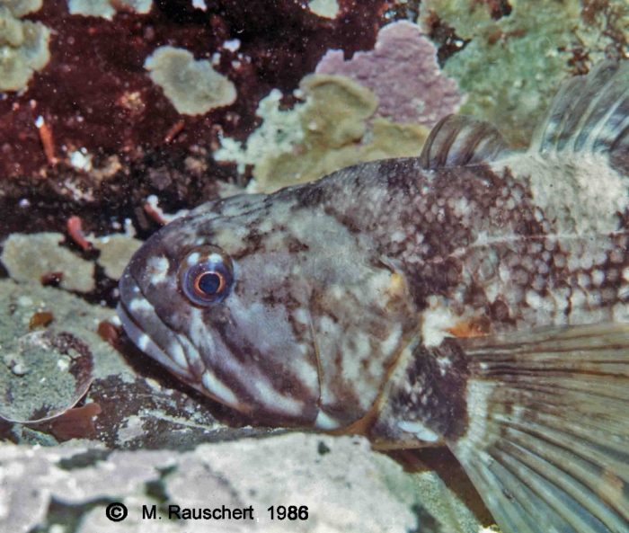 Notothenia coriiceps neglecta