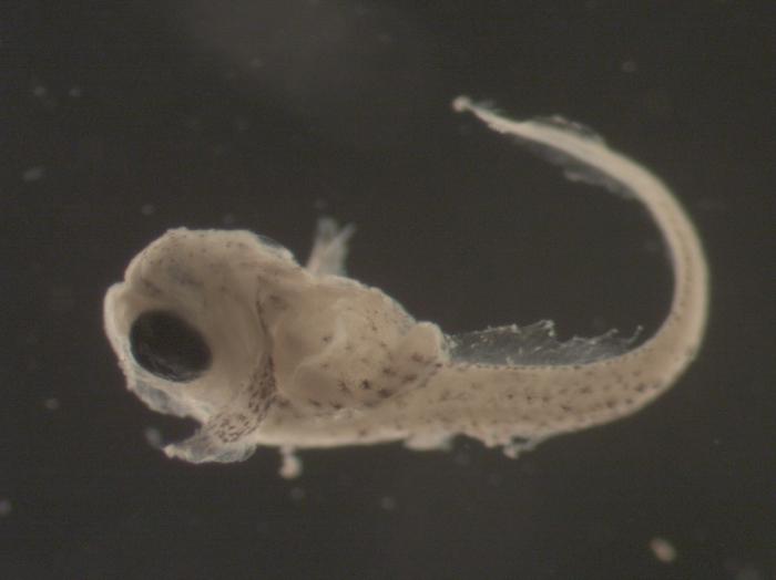 Liparis atlanticus larvae