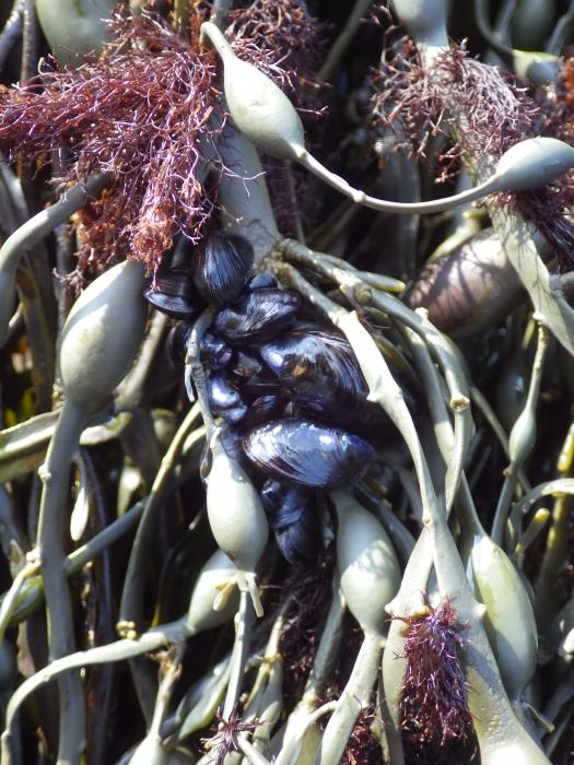 Mytilus sp. on Ascophyllum nodosum fronds