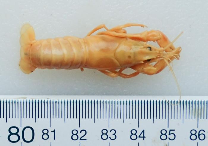 Orconectes virilis - crayfish