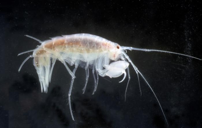 Eusirus microps