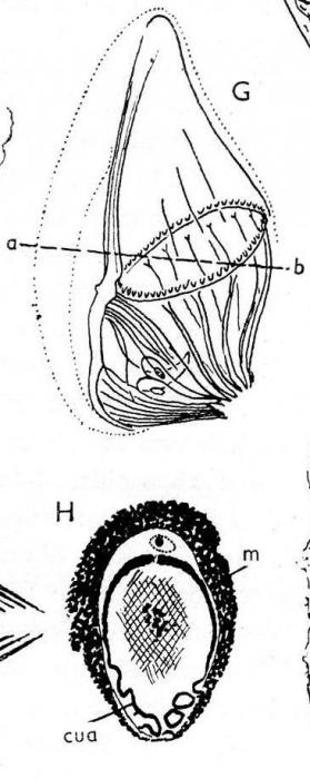 Beauchampiella oculifera