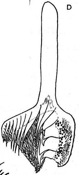 Castrella pinguis