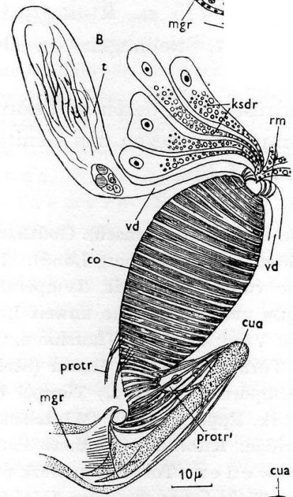 Castrella truncata
