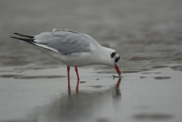 Kokmeeuw - Larus ridibundus