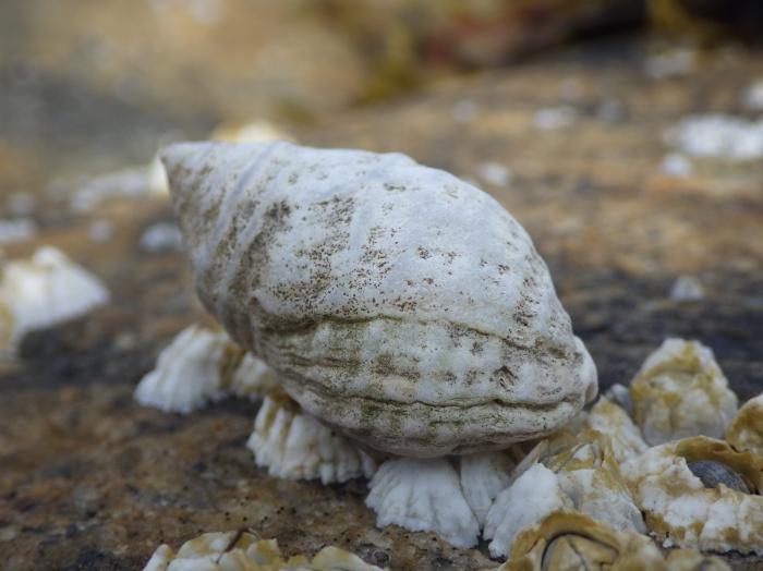 Dogwhelk feeding on barnacles
