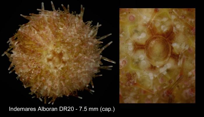 Specimen from Alboran Sea