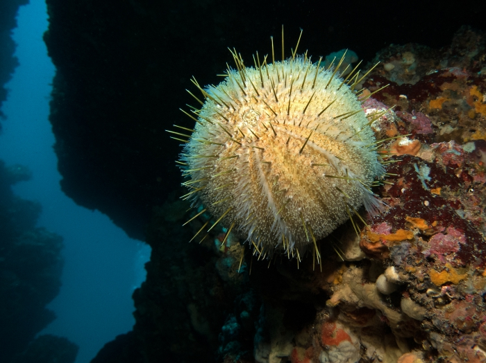 Echinus melo (Sardegna)