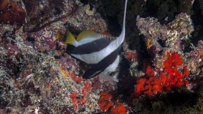 Heniochus acuminatus ReefBannerfish DMS