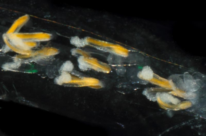 Abylopsis tetragona, mouth of Brunswick River, New South Wales, Australia