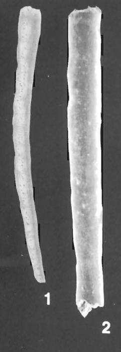 Bathysiphon rufus de Folin identified specimen
