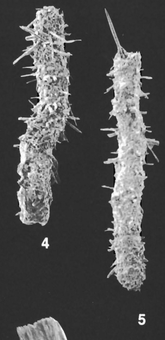 Saccorhiza ramosa (Brady) identified specimen