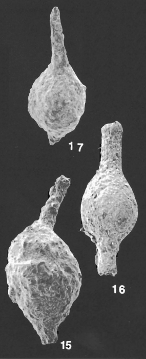 Hormosinella distans (Brady) identified specimen