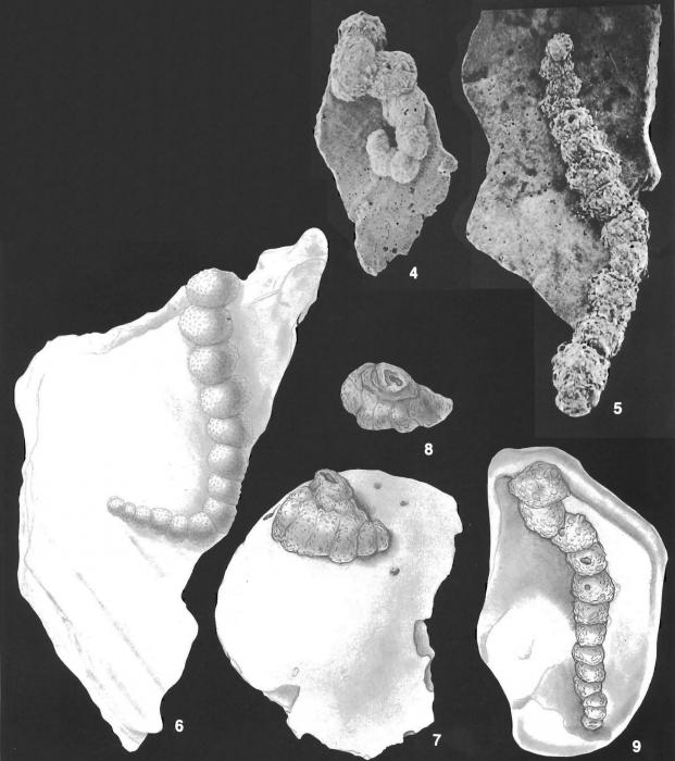 Placopsilina bradyi Cushman & McCulloch identified specimen