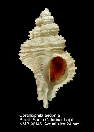 Coralliophila aedonia