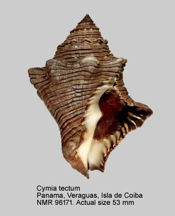 Cymia tectum
