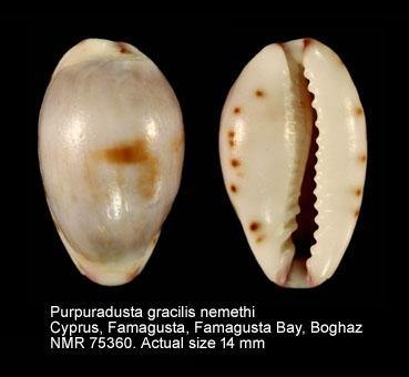 Purpuradusta gracilis nemethi