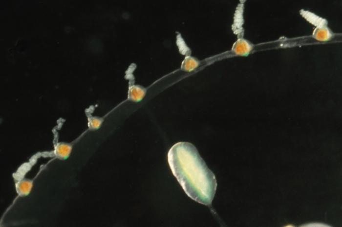 bell margin of Phialella quadrata medusa from mouth of Brunswick River, New South Wales, Australia