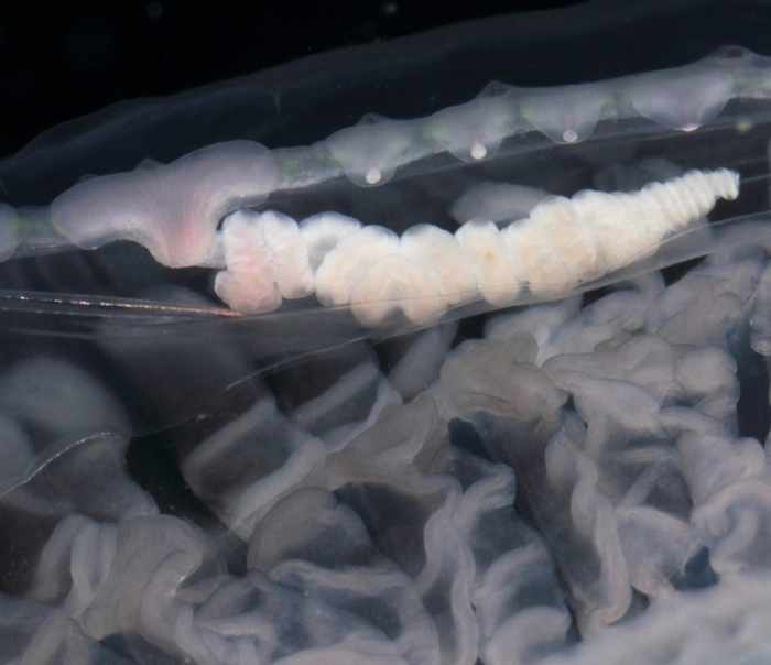 Aequorea cf. pensilis medusa from mouth of Brunswick River, New South Wales, Australia