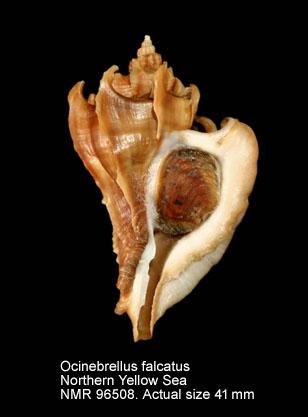 Ocinebrellus falcatus
