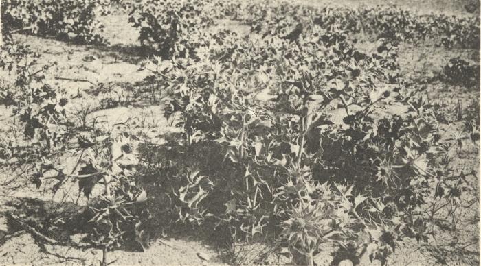 Massart (1908, foto 036)