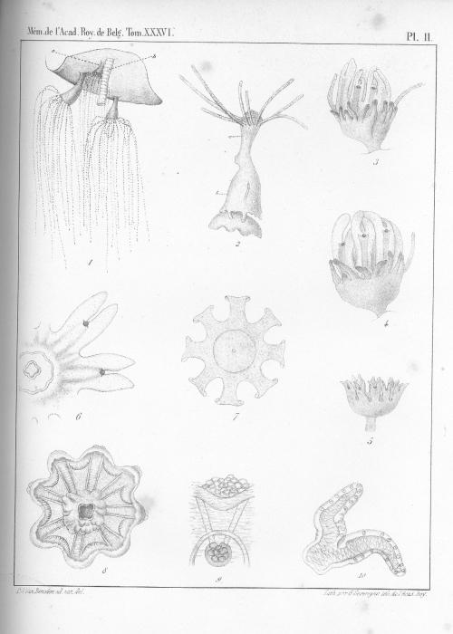 Van Beneden (1867, pl. 02)
