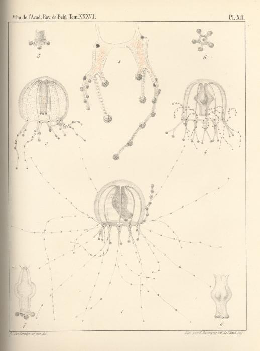 Van Beneden (1867, pl. 12)