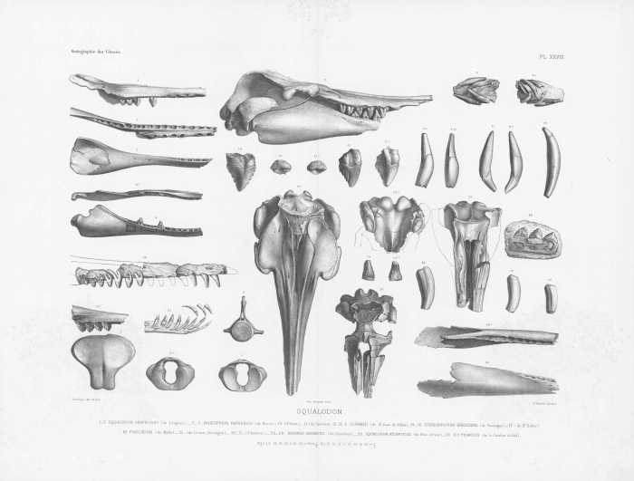 Van Beneden & Gervais (1880, pl. 28)