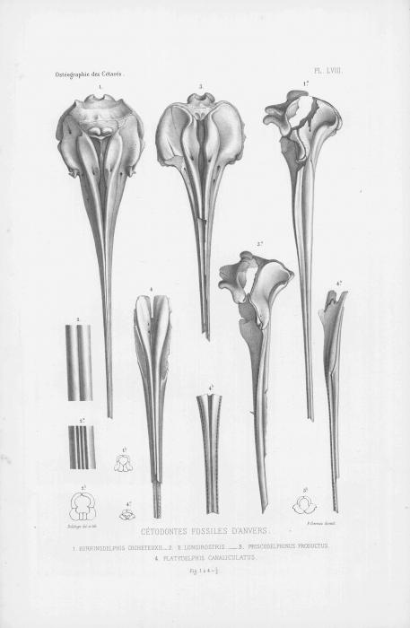 Van Beneden & Gervais (1880, pl. 58)