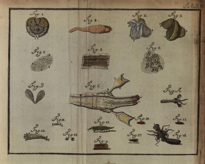 Sellius (1733, tabula 2 – kleur)