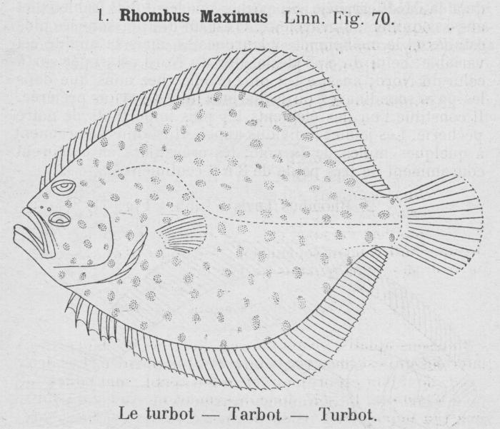 Gilson (1921, fig. 70)