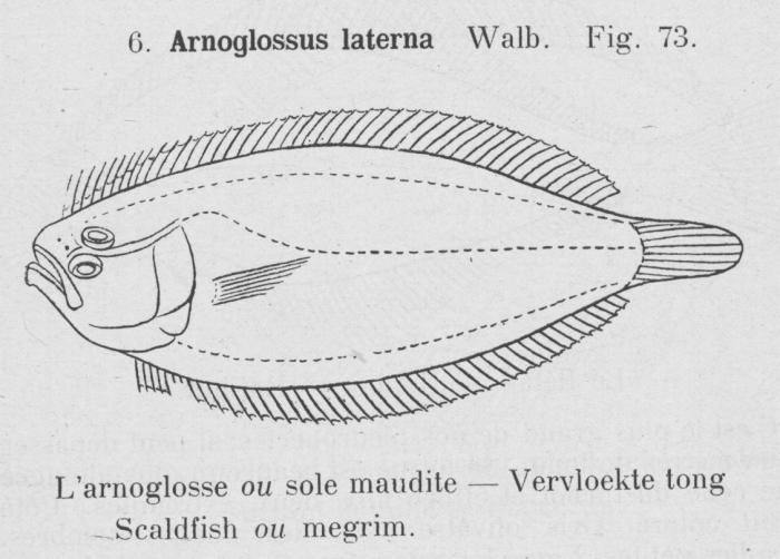 Gilson (1921, fig. 73)