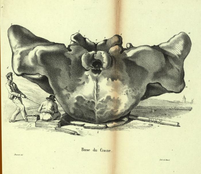Dubar (1828, pl. 03)