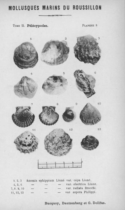 Bucquoy et al. (1887-1898, pl. 08)