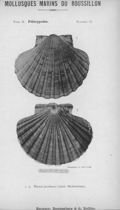 Bucquoy et al. (1887-1898, pl. 12)