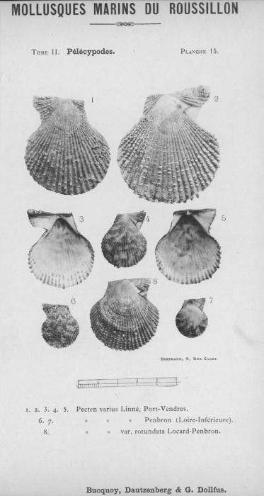 Bucquoy et al. (1887-1898, pl. 15)