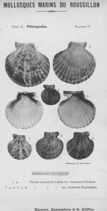 Bucquoy et al. (1887-1898, pl. 17)