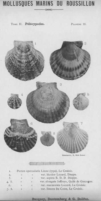 Bucquoy et al. (1887-1898, pl. 18)