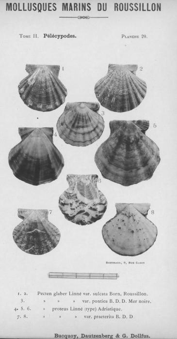 Bucquoy et al. (1887-1898, pl. 20)