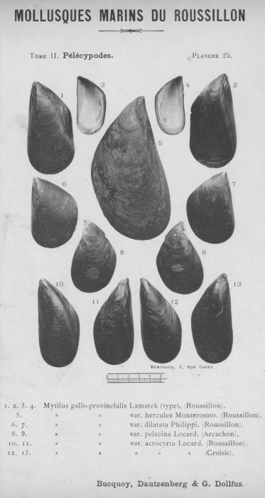 Bucquoy et al. (1887-1898, pl. 25)