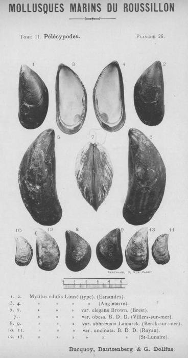 Bucquoy et al. (1887-1898, pl. 26)