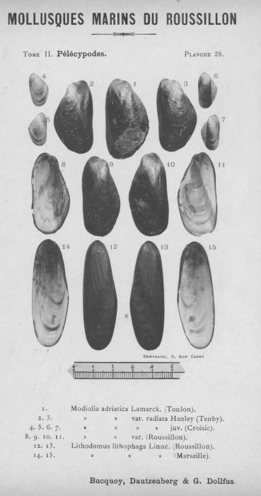Bucquoy et al. (1887-1898, pl. 28)