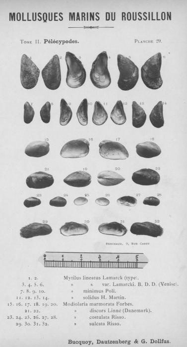 Bucquoy et al. (1887-1898, pl. 29)