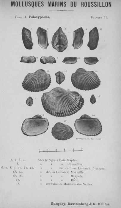 Bucquoy et al. (1887-1898, pl. 31)