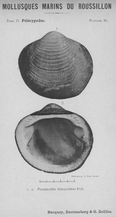 Bucquoy et al. (1887-1898, pl. 35)