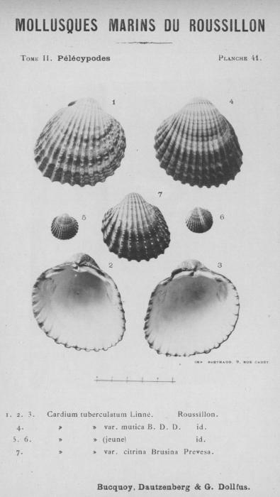 Bucquoy et al. (1887-1898, pl. 41)