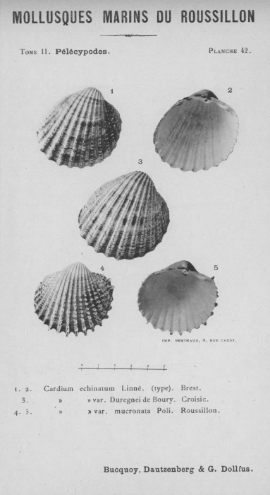 Bucquoy et al. (1887-1898, pl. 42)