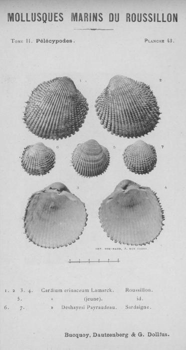 Bucquoy et al. (1887-1898, pl. 43)