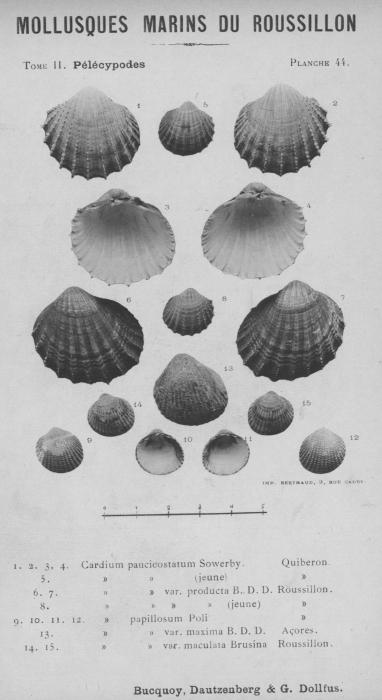Bucquoy et al. (1887-1898, pl. 44)