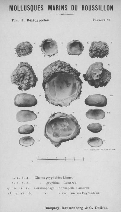 Bucquoy et al. (1887-1898, pl. 50)